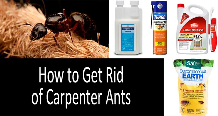 Top 18 Carpenter Ant Killers Best Baits And Insecticides In 2020
