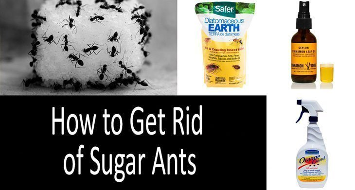 Top 9 Sugar Ant Killers Best Baits And Insecticides In 2020,What Do Cats Like To Do With Humans